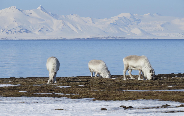 Глобальное потепление. Олени Заполярья. Фото: Дотан Ротем