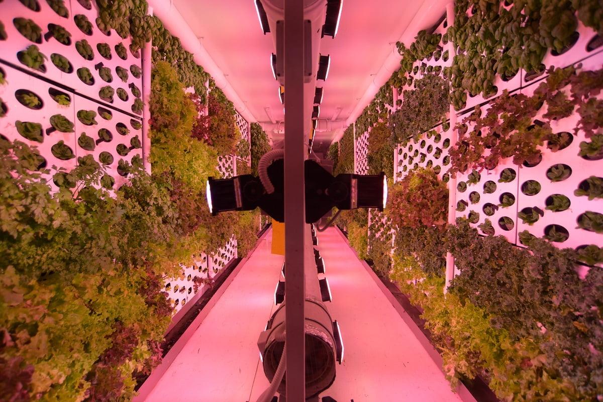 Облачное земледелие: зеленые стены внутри умной фермы. Фото Гари Налбандян. NoCamel